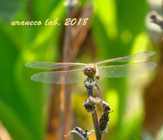 11月2日蜻蛉