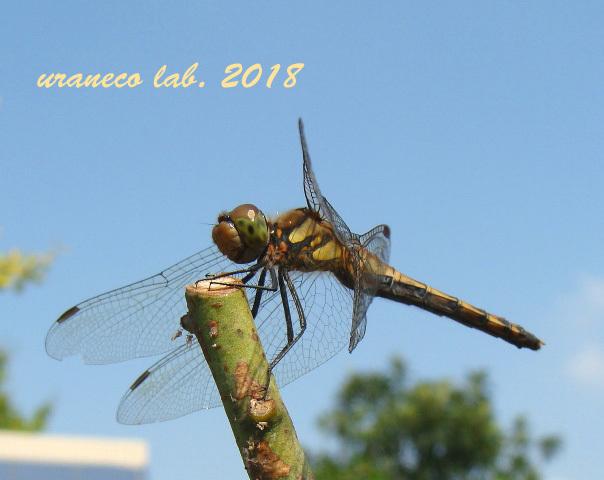 11月2日蜻蛉4