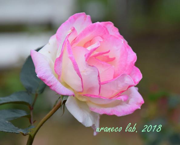 10月25日薔薇4