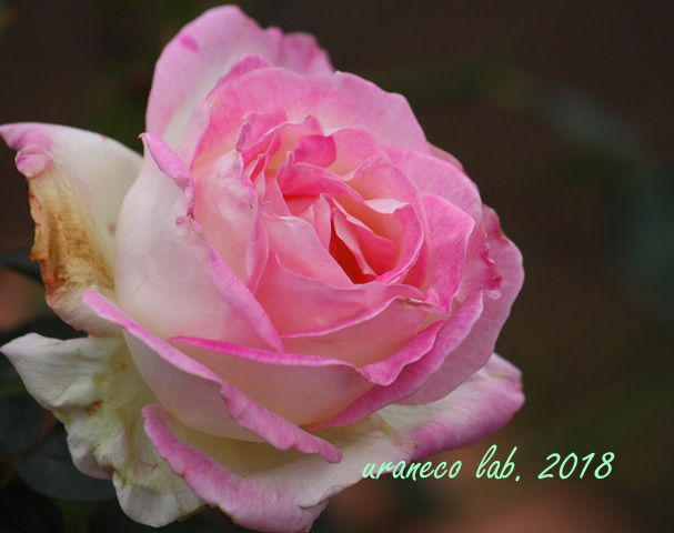 10月25日薔薇3