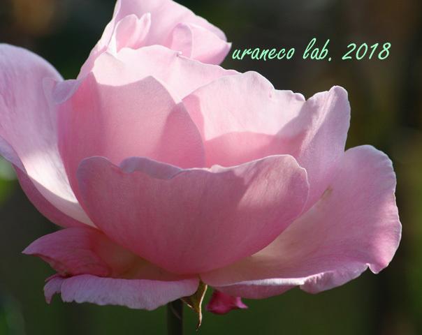 10月25日薔薇2