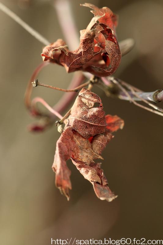 ミスジチョウ幼虫