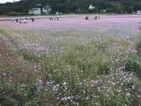 ピンクの花畑181204