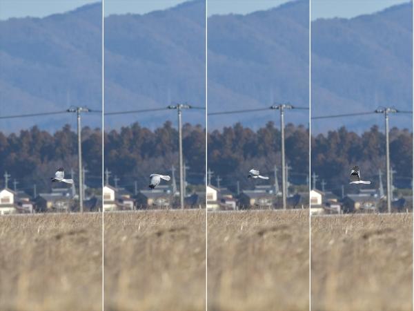 ハイイロチュウヒ♂20190111-3