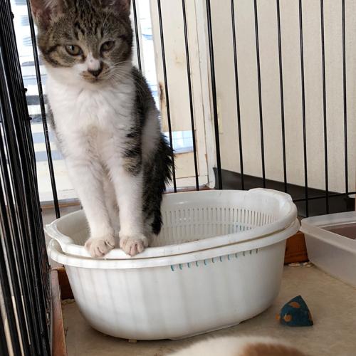子猫のトイレ事情【里親募集中】 渋々かよ