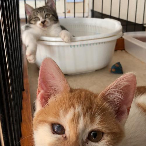 子猫のトイレ事情【里親募集中】 チャイちゃん あのオッさんみたいになってるの 注意して
