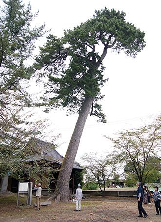 181004太奈荷神社のマツ①