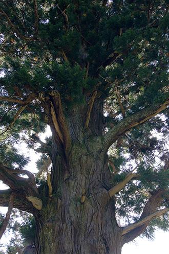 181028中川の箒杉⑦