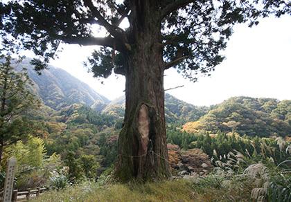 181028中川の箒杉