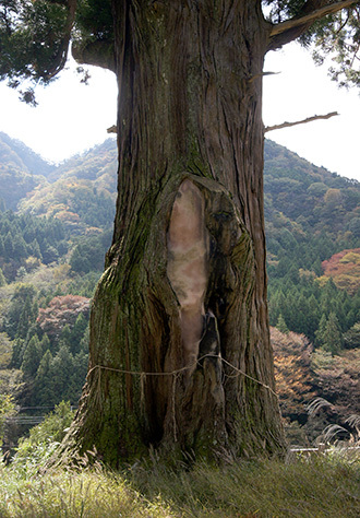 181028中川の箒杉A