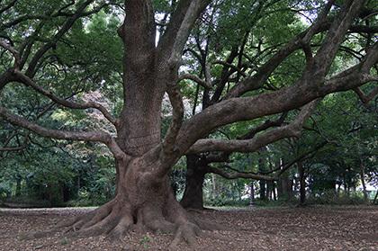 181104百年の森クスノキ④