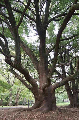 181104百年の森クスノキ⑤
