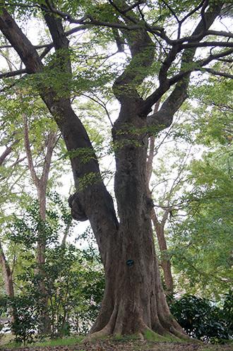 181104百年の森クスノキ⑩