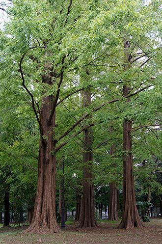 181104百年の森クスノキ⑪