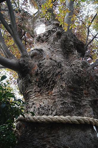 181126川口前川神社の欅④