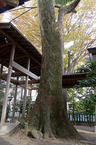 181126川口前川神社の欅⑤