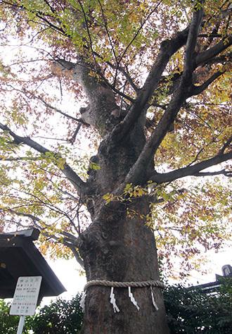 181126川口前川神社の欅⑥