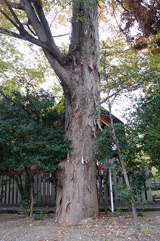 181126川口前川神社の欅⑦