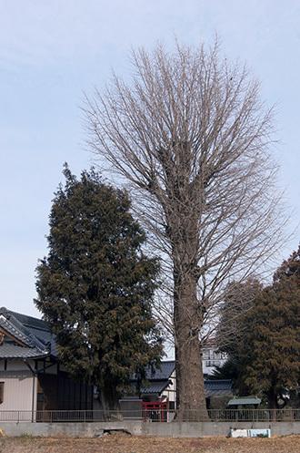 190128鷲香取神社の銀杏②