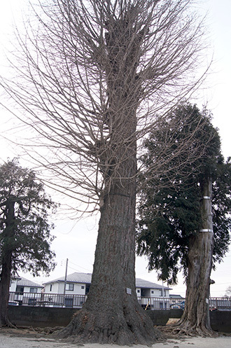 190128鷲香取神社の銀杏⑨