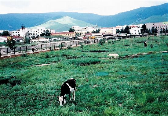⑫町中の牛