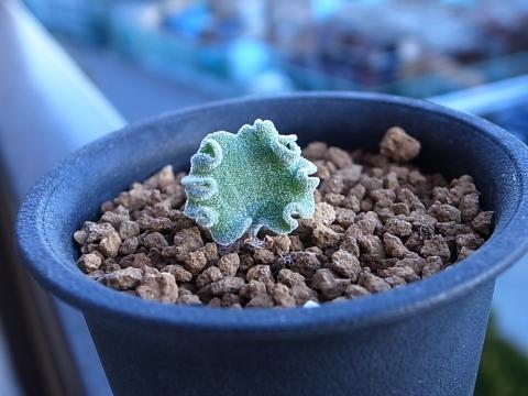 20190127_Eriospermum titanopsoides