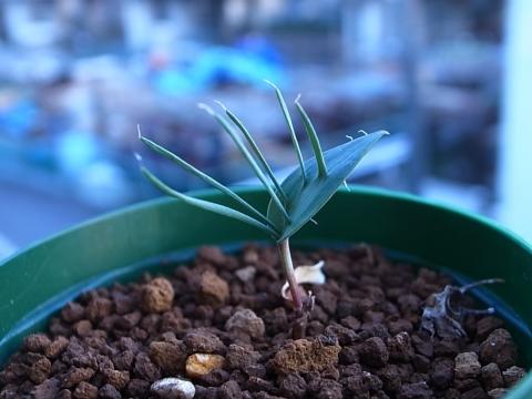 20190127_Eriospermum alcicorne