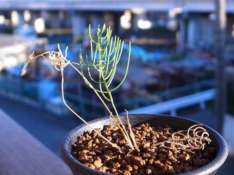 20190127_Eriospermum aphyllum