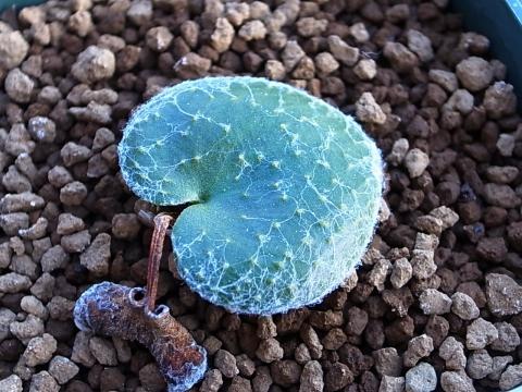20190127_Eriospermum arachnoideum