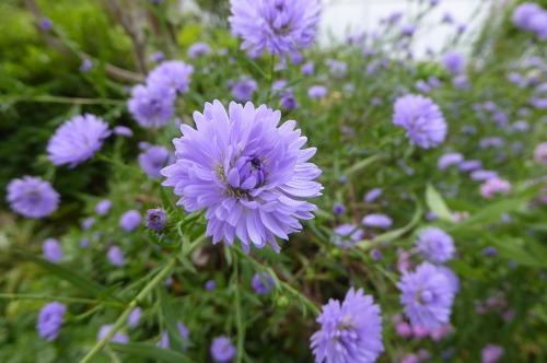 クジャクソウ青紫