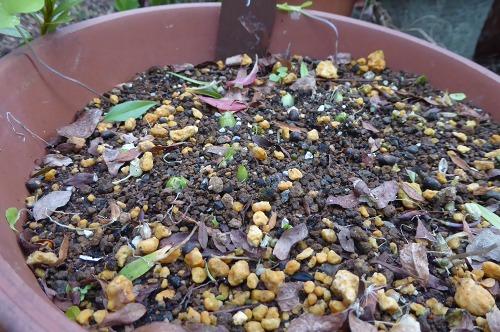福寿草の芽出し