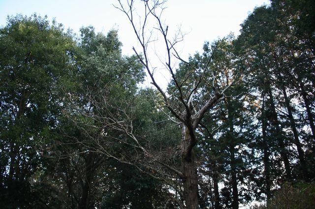 石岡市 自然 八郷 栗の木