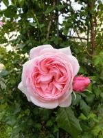 アトリエジェムカフェフェ薔薇