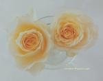 アプリコット色の薔薇