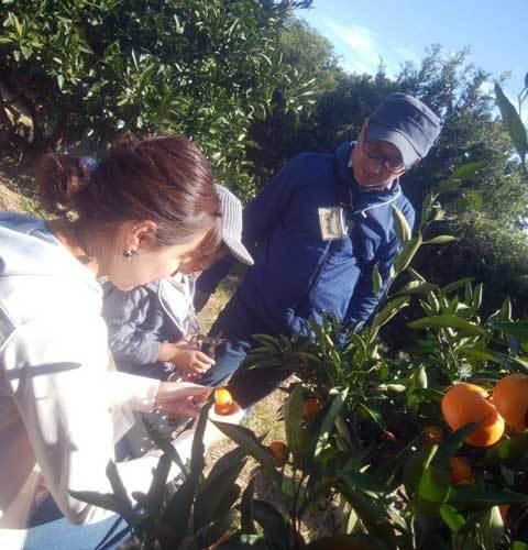 みかん収穫体験3