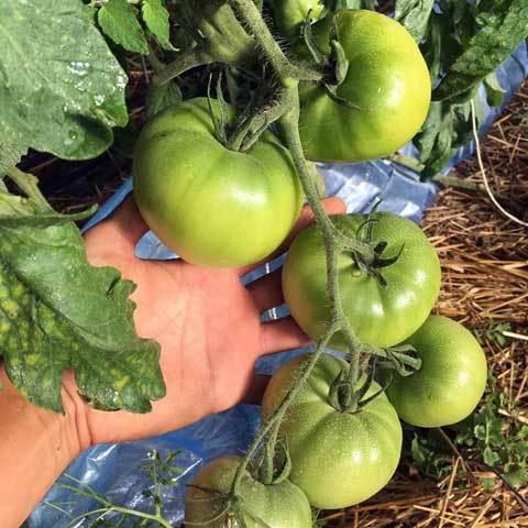 八代トマト3