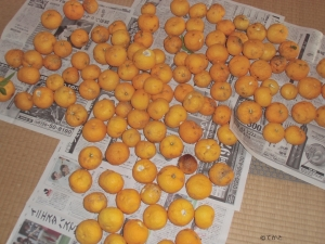 2018、柚子、収穫