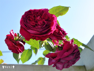 お庭のバラ