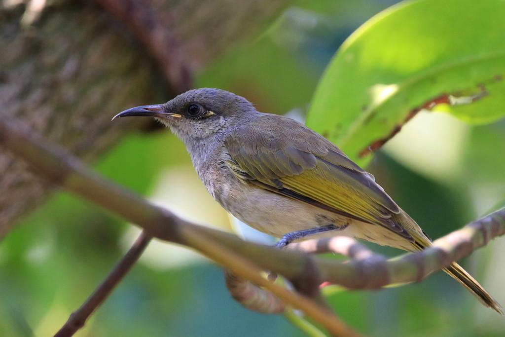 インドネシア探鳥(1) 怒りのジャカルタ インドネシアサメイロミツスイ ...