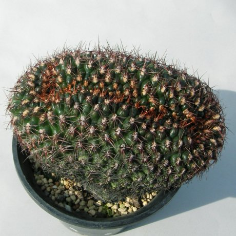 181015--Sany0191--mesopotamicum--Piltz seed--houmei en