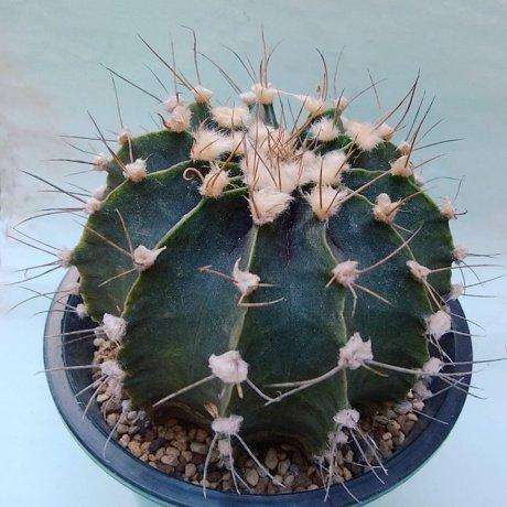 181102_155032--friedrichii moserianum--P 435--Anerico Picco, Nueva Asuncion, Paraguay   --piltz seed 4334