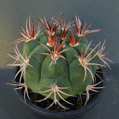 181105_110025--pflanzii v praguayense--Pilcomayo Paraguay--Piltz seed1123 (2011)