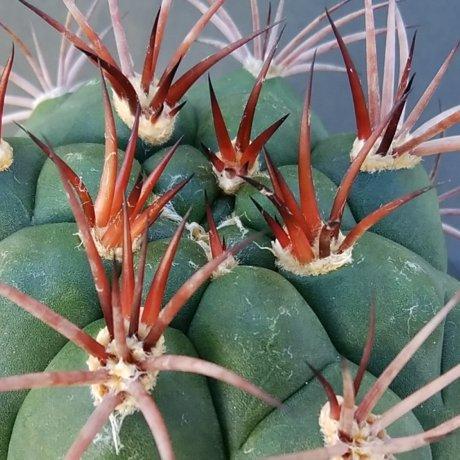 181105_110118--pflanzii v paaraguayense--Piltz seed