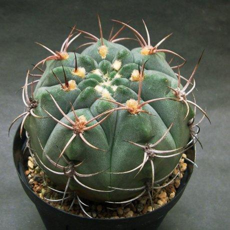 181031--Sany0080--nigriareolatum--STO 268--Jecminek seed 02718B (2009)