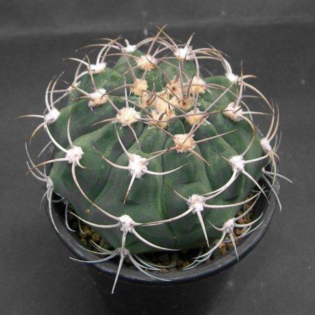 140914--Sany0125--igriareolatum v simoi--La Merced--Bercht seed GYM 318(2004)