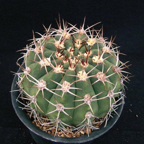 181005--Sany0214-nigriareolatum v simoi--P 39--Piltz seed