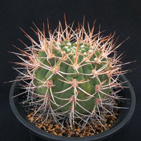 180404--Sany0034--mazanense v polycephalum--P 223--Piltz seed 4310