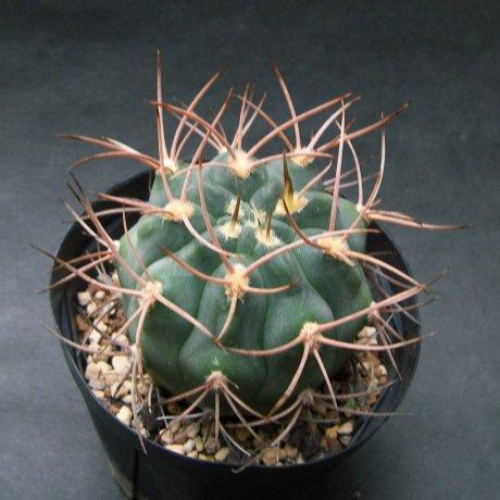 181029--Sany0208--polycephalum--Tom 07-283-1--Kulhanek seed (2010)