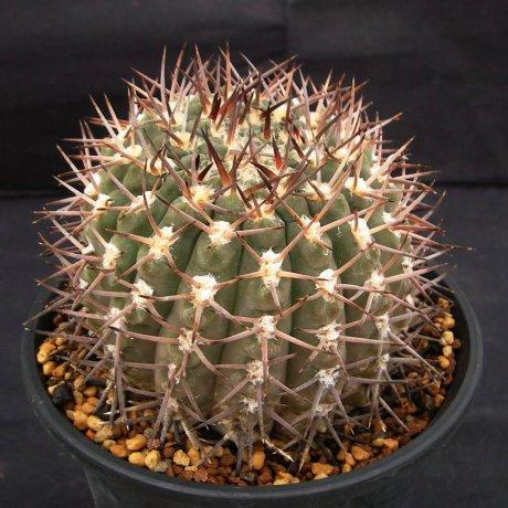 110926-Sany0144-G. piltziorum-P 38-Cactus Nishi