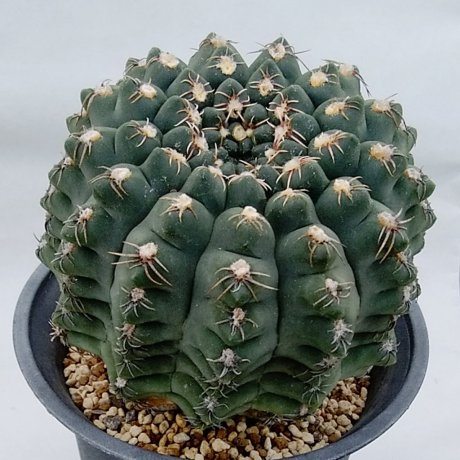 181201_112855--quehlianum v fravispinum--Koehres seed 626